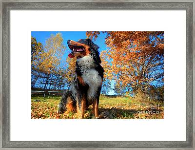 A Happy Bernese Mountain Dog Outdoors Framed Print by Michal Bednarek