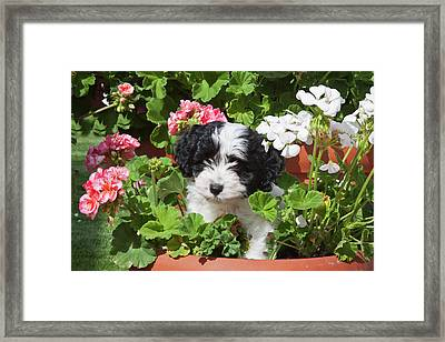 A Havanese Puppy In A Flower Pot Framed Print by Zandria Muench Beraldo