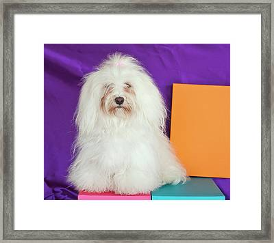 A Havanese Sitting In Front Of Colorful Framed Print by Zandria Muench Beraldo