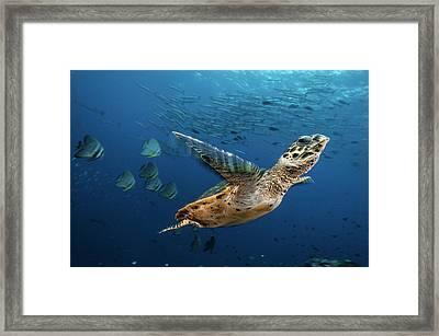 A Hawksbill Sea Turtle Swims Framed Print