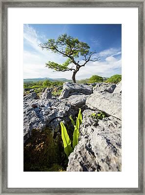 A Hawthorn Tree And Harts Tongue Fern Framed Print