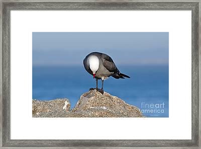 A Heermann's Gull Investigates Framed Print by Susan Wiedmann