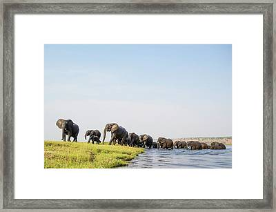 A Herd Of African Elephants Framed Print