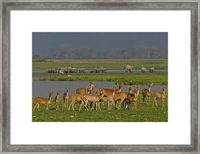 A Herd Of India Swamp Deer In Kaziranga Framed Print by Steve Winter