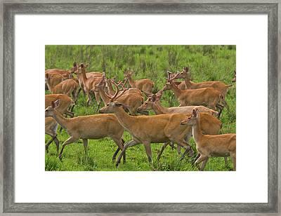 A Herd Of Swamp Deer In Kaziranga Framed Print by Steve Winter