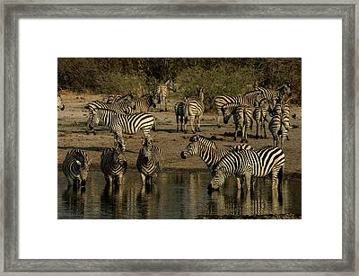 A Herd Of Zebras, Equus Quagga, Drink Framed Print by Beverly Joubert
