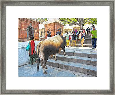 A Holy Cow Climbing Steps From Bagmati River In Kathmandu-nepal  Framed Print