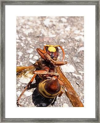 A Hornet Framed Print