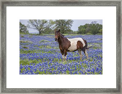 A Horse In Texas Bluebonnets In The Hill Country 2 Framed Print by Rob Greebon