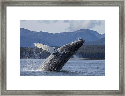 A Humpback Whale Breaches As It Leaps Framed Print