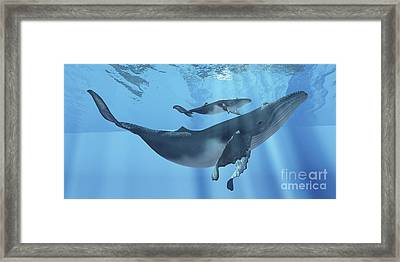 A Humpback Whale Mother And Her Calf Framed Print by Corey Ford