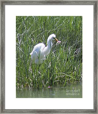 A Hungry Great Egret Framed Print