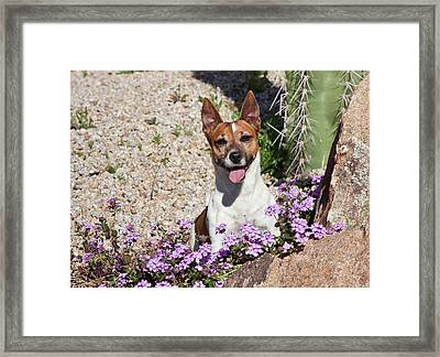 A Jack Russell Terrier Sitting Framed Print by Zandria Muench Beraldo