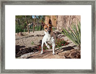 A Jack Russell Terrier Standing Framed Print by Zandria Muench Beraldo