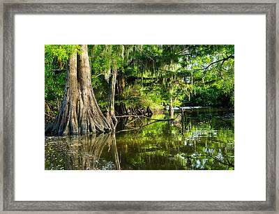 A Jungle Of Bald Cypress Trees Framed Print