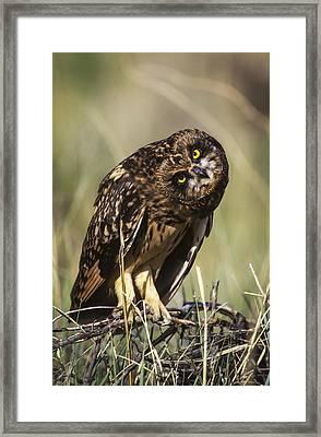 A Juvenile Short-eared Owl Asio Framed Print by Robert L. Potts