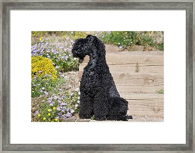 A Kerry Blue Terrier Sitting On Wooden Framed Print