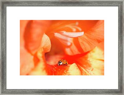 A Ladybug Beetle Searches For Prey Framed Print by Robert L. Potts