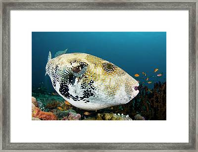 A Large Bluespotted Pufferfish Framed Print by Scubazoo