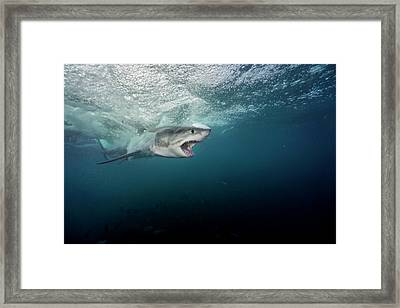 A Large Great White Shark Explodes Framed Print