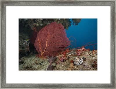 A Large Red Gorgonian Sea Fan And Tiger Framed Print