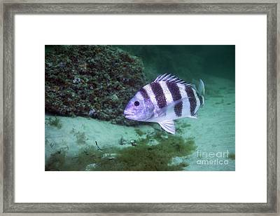 A Large Sheepshead Ruising The Bottom Framed Print