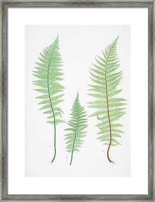 A. Lastrea Filix-mas Pumila. B. L. Filix-mas Paleacea Framed Print