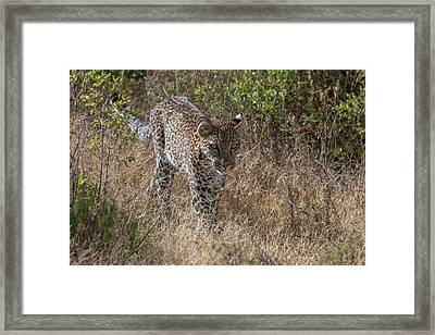 A Leopard, Panthera Pardus, Walking Framed Print by Tom Murphy