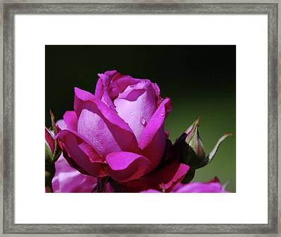 A Light Blue Rose  Framed Print