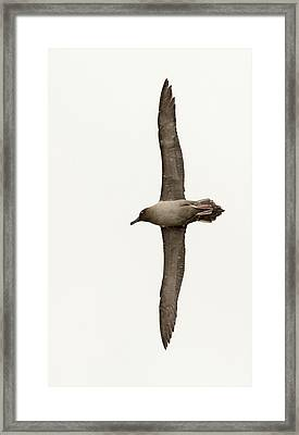 A Light Mantled Albatross Framed Print