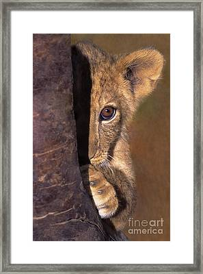 A Lion Cub Plays Hide And Seek Wildlife Rescue Framed Print by Dave Welling