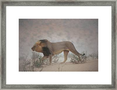 A Lion Pushes On Through A Gritty Wind Framed Print by Chris Johns