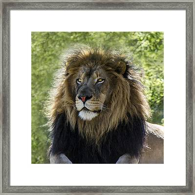 A Lion's Thoughts Framed Print