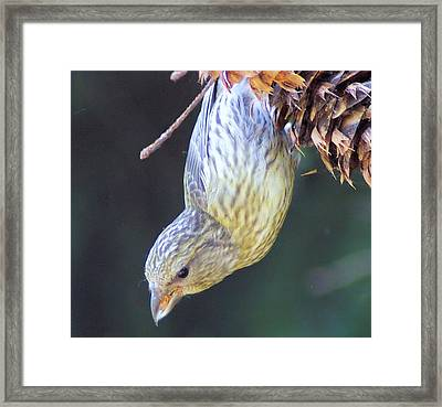 A Little Bird Eating Pine Cone Seeds  Framed Print by Jeff Swan