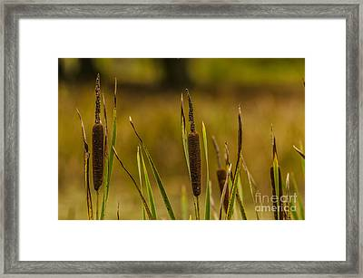 A Load Of Bulrushes. Framed Print by Darren Wilkes