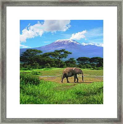 A Lone African Elephant (loxodonta Framed Print by Miva Stock
