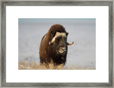 A Lone Musk Ox Bull Browses On Sedges Framed Print