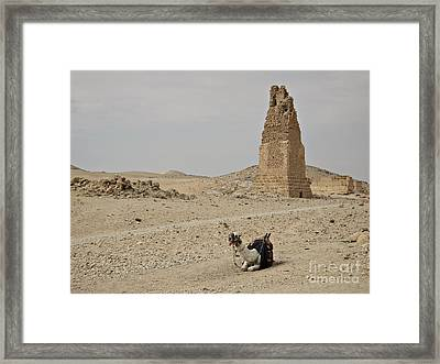 A Lonely Camel Framed Print by Cendrine Marrouat