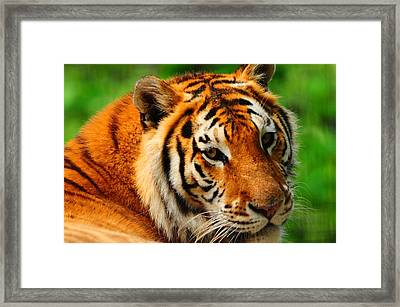 A Look From A Tiger Framed Print by Valarie Davis