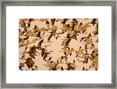 Snow Geese Framed Print by Jeff Swan