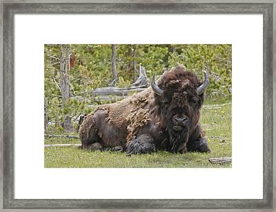 A Lot Of Bull Framed Print by Charles Warren