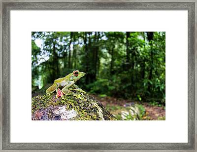 A Malayan Flying Frog Framed Print by Scubazoo