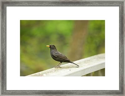 A Male Blackbird Framed Print