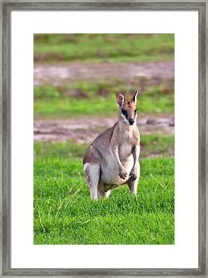 A Male Grey Kangaroos (macropus Framed Print by Miva Stock