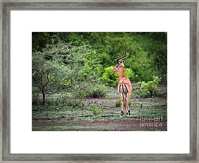A Male Impala In Lake Manyara National Park. Tanzania. Africa. Framed Print