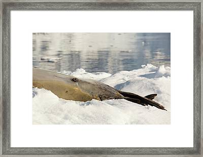 A Male Leopard Seal Framed Print by Ashley Cooper