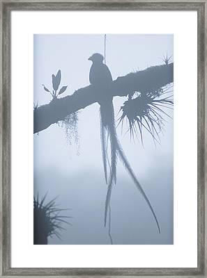 A Male Resplendent Quetzal Perches Framed Print
