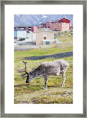 A Male Svalbard Reindeer Framed Print