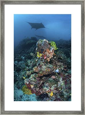 A Manta Ray Swimming Above A Colorful Framed Print