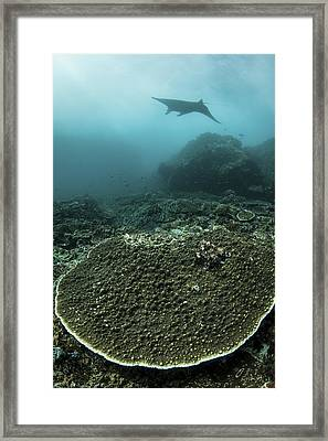 A Manta Ray Swimming Framed Print